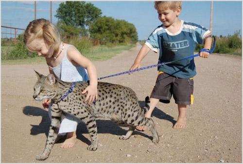 Кошку породы саванна выгуливают дети