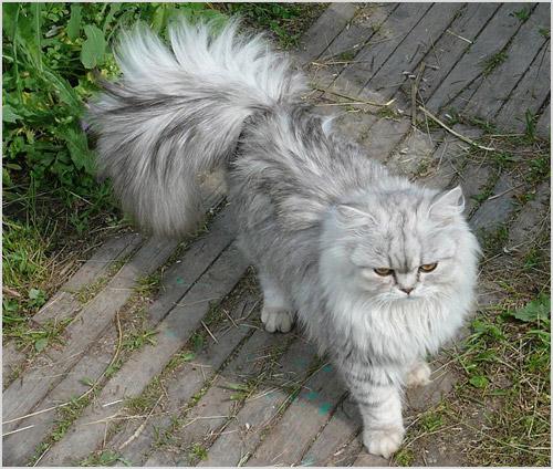 Кошка породы шиншилла