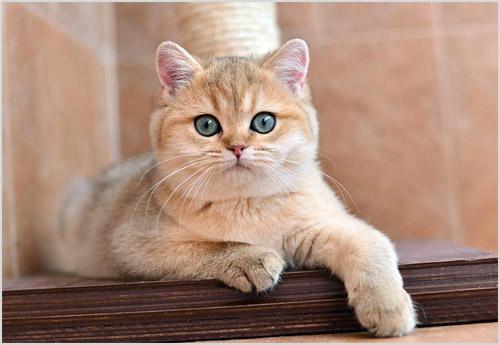 Котенок кошки породы шиншилла