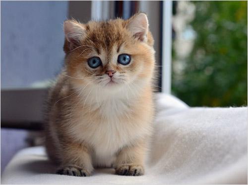 Котенок кошки шиншиллы