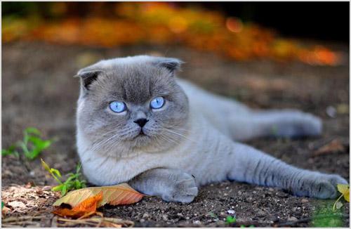 Кошка скоттиш-фолд
