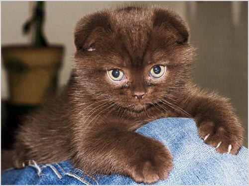Котенок породы скоттиш-фолд