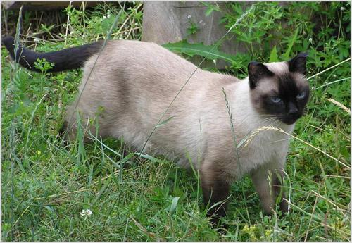 Сиамский кот гуляет по траве
