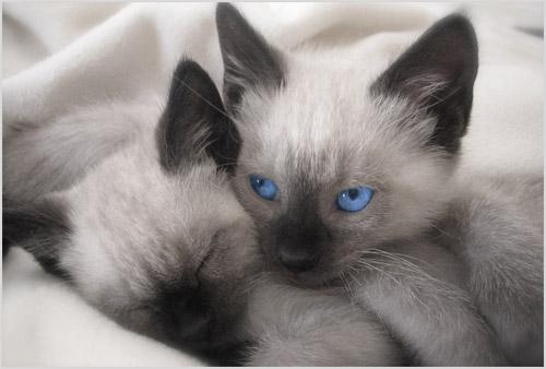 Сиамский котята