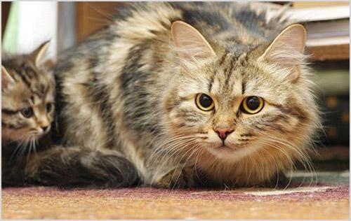 Сибирская кошка с котенком