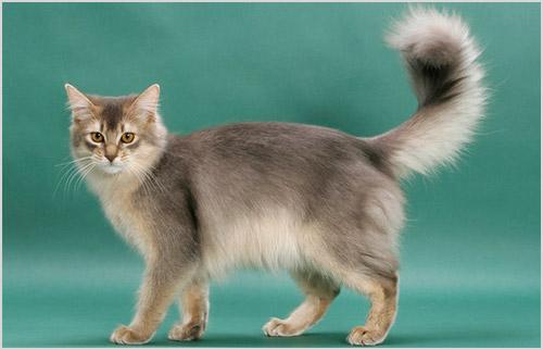 Кошка сомалийской породы