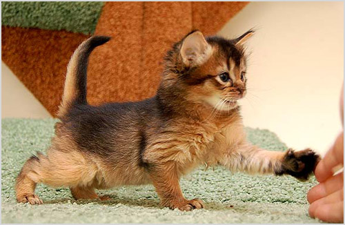 Котенок сомалийской кошки