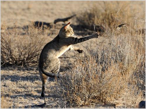Охота степного кота
