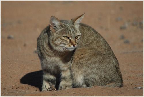 Фото степной кошки