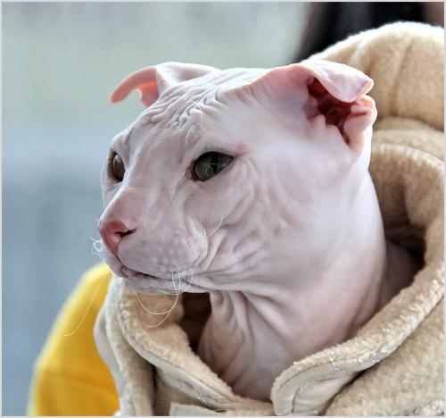 Кошка укутанная в одежду
