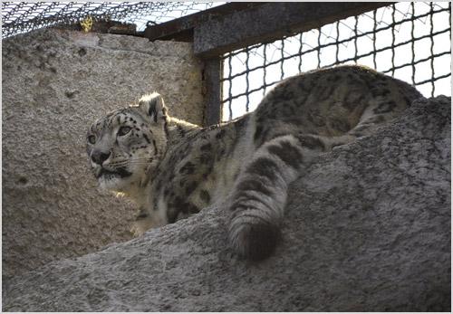 Ирбис в зоопарке