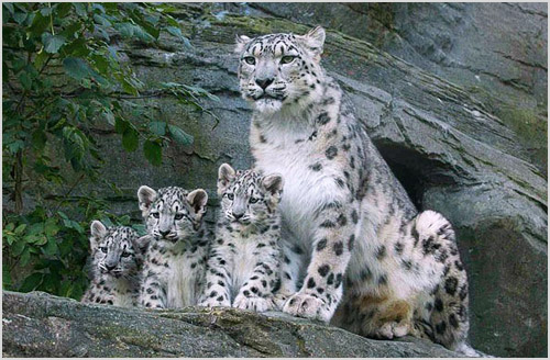 Семейство снежного барса