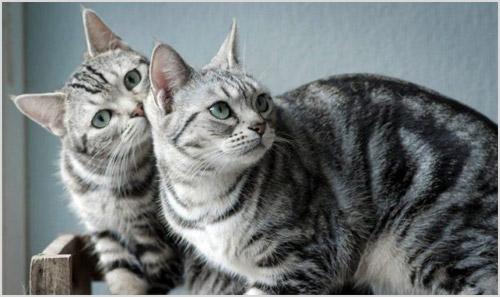 Американские короткошерстные кошки