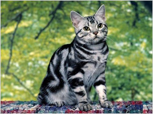 Кошка породы американская короткошерстная