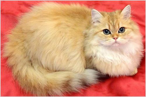 Британская длинношерстная кошка золотистого окраса