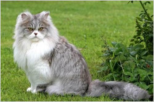 Фото британской длинношерстной кошки