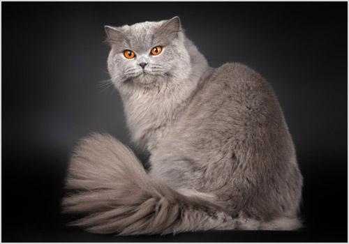Кошка породы британская длинношерстная