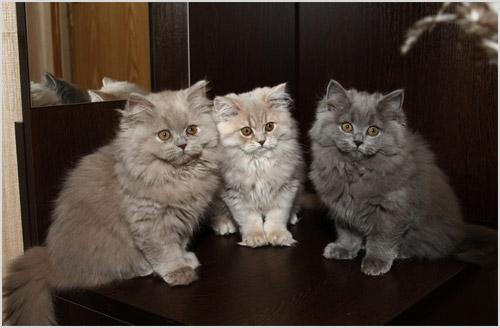 Котята британской длинношерстной кошки