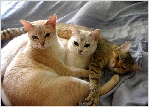 Кошки бурмиллы