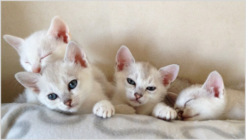 Котята породы бурмилла