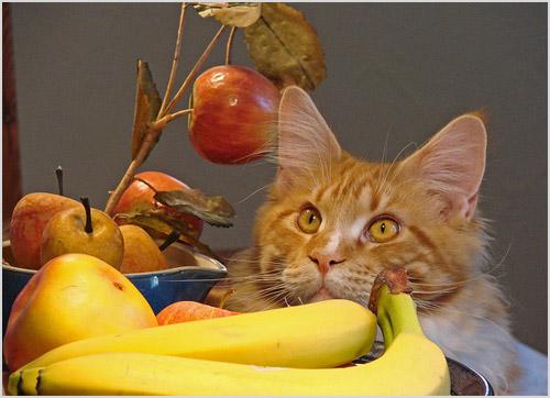 Мейн-кун среди тарелок с фруктами