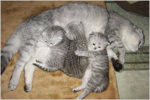 Кормящая кошка породы скоттиш-фолд