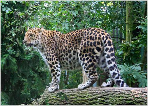Фото дальневосточного леопарда