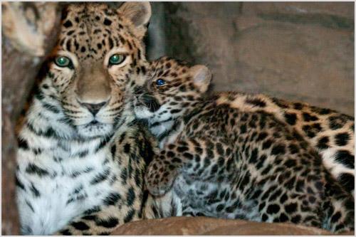 Самка амурского леопарда с детенышем