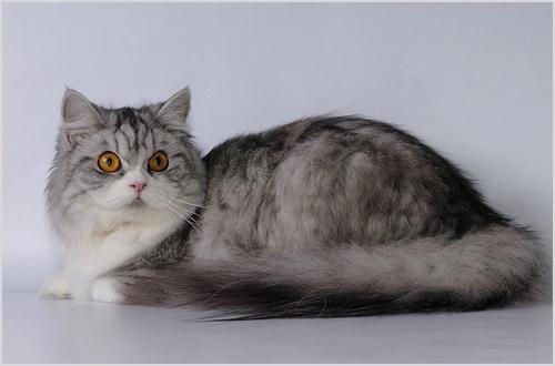 Кошка породы Хайленд-страйт