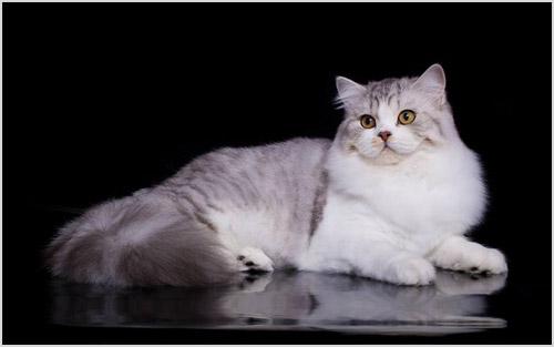 Хайленд-страйт кошка