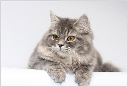 Фото кошки Хайленд-страйт