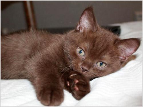 Котенок йоркской шоколадной кошки