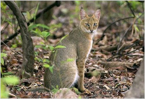 Камышовая кошка в лесу