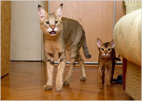Камышовый кот в квартире