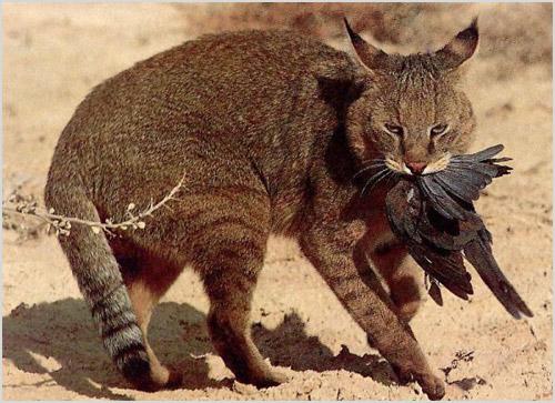 Фото камышового кота
