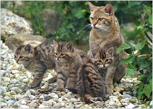 Камышовая кошка с потомством
