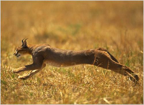 Степная кошка на охоте