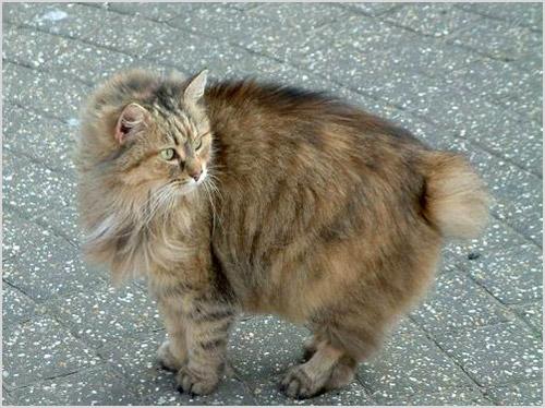 Кот породы кимрик