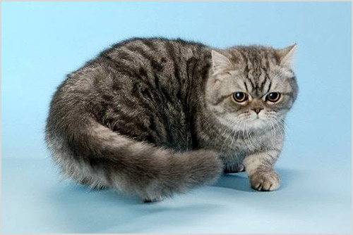 Фото кошки Наполеон