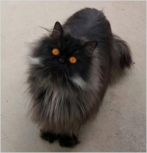 Черный кот Наполеон