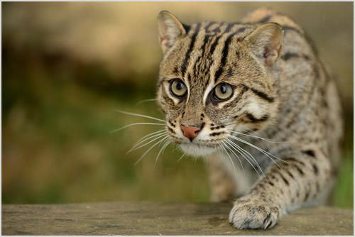 Фото кошки-рыболова