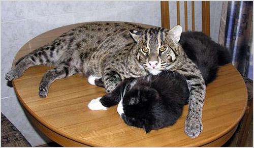 Виверровый кот-рыболов лежит на столе