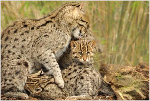 Кошка-рыболов с котятами
