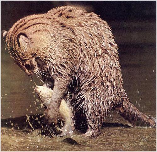 Виверровый кот-рыболов поймал рыбу
