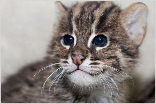 Котенок кошки-рыболова
