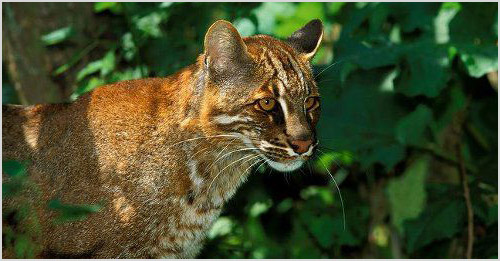 Фото кошки темминки