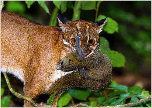Азиатская золотая кошка на охоте
