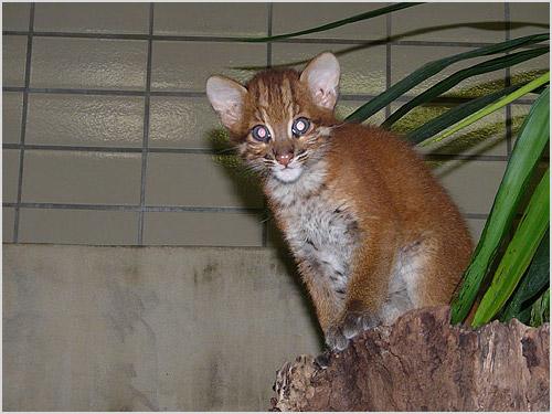 Котенок азиатской золотой кошки