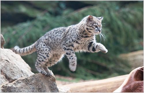 Охота кошки Жоффруа