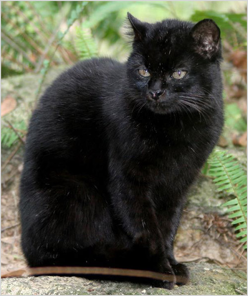 Кошка Жоффруа черного окраса